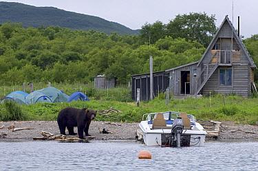Brown Bear (Ursus arctos) near human encampment, Kamchatka, Russia  -  Sergey Gorshkov