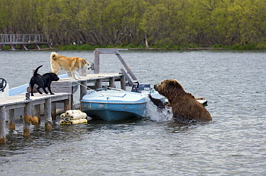 Brown Bear (Ursus arctos) in river near human encampment with domestic dogs barking at it, Kamchatka, Russia  -  Sergey Gorshkov