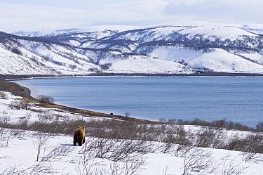 Brown Bear (Ursus arctos) near mountain lake, Kamchatka, Russia  -  Sergey Gorshkov
