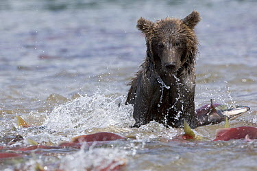 Brown Bear (Ursus arctos) foraging for salmon, Kamchatka, Russia  -  Sergey Gorshkov