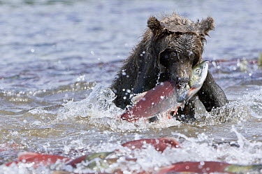 Brown Bear (Ursus arctos) catching salmon, Kamchatka, Russia  -  Sergey Gorshkov