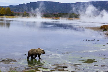 Brown Bear (Ursus arctos) on lakeshore, Kamchatka, Russia  -  Sergey Gorshkov