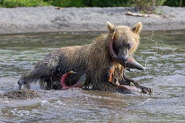 Brown Bear (Ursus arctos) catching salmon, Kamchatka, Russia  -  Sergey Gorshkov