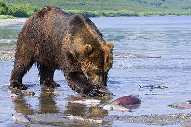 Brown Bear (Ursus arctos) feeding on washed-up salmon, Kamchatka, Russia  -  Sergey Gorshkov