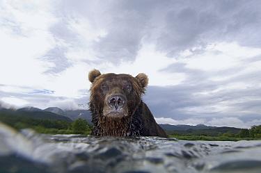 Brown Bear (Ursus arctos) in river, Kamchatka, Russia  -  Sergey Gorshkov