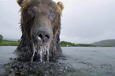 Brown Bear (Ursus arctos) in river, Kamchatka, Russia  -  Sergey Gorshkov
