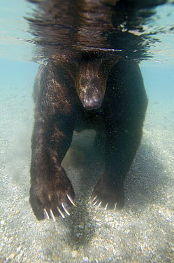 Brown Bear (Ursus arctos) looking for food underwater, Kamchatka, Russia  -  Sergey Gorshkov