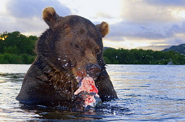 Brown Bear (Ursus arctos) feeding on salmon in river, Kamchatka, Russia  -  Sergey Gorshkov