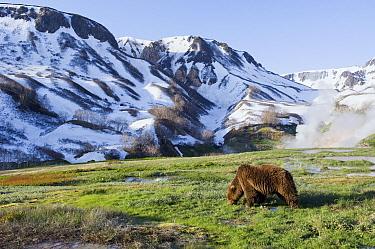 Brown Bear (Ursus arctos) foraging, Kamchatka, Russia  -  Sergey Gorshkov