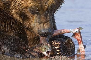 Brown Bear (Ursus arctos) feeding on salmon eggs, Kamchatka, Russia  -  Sergey Gorshkov