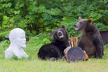 Brown Bear (Ursus arctos) pair near statue, Kamchatka, Russia  -  Sergey Gorshkov
