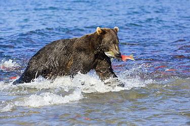 Brown Bear (Ursus arctos) with caught salmon, Kamchatka, Russia  -  Sergey Gorshkov