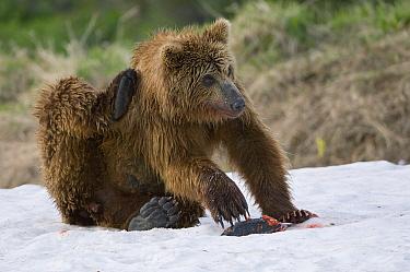 Brown Bear (Ursus arctos) scratching its head, Kamchatka, Russia  -  Sergey Gorshkov