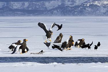 Steller's Sea Eagle (Haliaeetus pelagicus) fighting over food, Kamchatka, Russia  -  Sergey Gorshkov