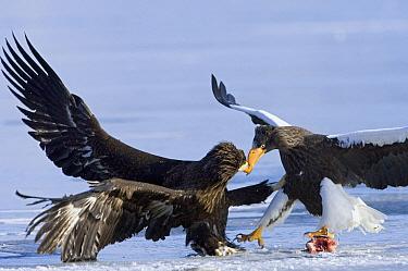 Steller's Sea Eagle (Haliaeetus pelagicus) adult fighting over food with juvenile, Kamchatka, Russia  -  Sergey Gorshkov