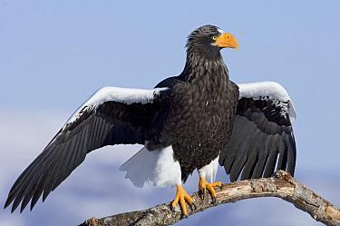 Steller's Sea Eagle (Haliaeetus pelagicus) sunbathing, Kamchatka, Russia  -  Sergey Gorshkov
