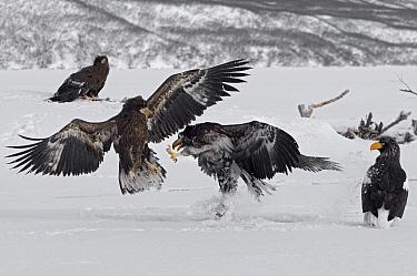Steller's Sea Eagle (Haliaeetus pelagicus) juveniles fighting over food, Kamchatka, Russia  -  Sergey Gorshkov