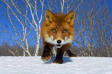 Red Fox (Vulpes vulpes), Kamchatka, Russia  -  Sergey Gorshkov
