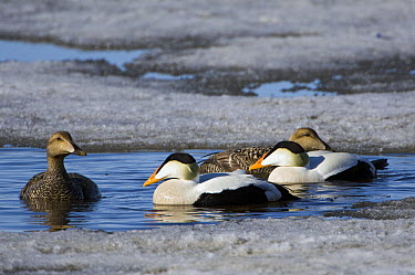 Common Eider (Somateria mollissima) males and females, Kamchatka, Russia  -  Sergey Gorshkov