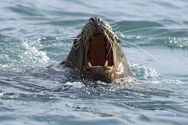 Steller's Sea Lion (Eumetopias jubatus) barking, Kamchatka, Russia  -  Sergey Gorshkov