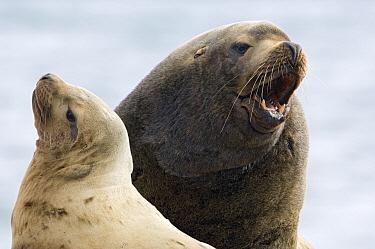Steller's Sea Lion (Eumetopias jubatus) male and female, Kamchatka, Russia  -  Sergey Gorshkov