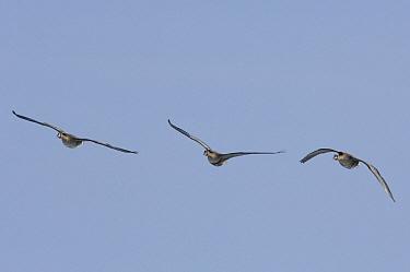 White-fronted Goose (Anser albifrons) trio flying, Kamchatka, Russia  -  Sergey Gorshkov