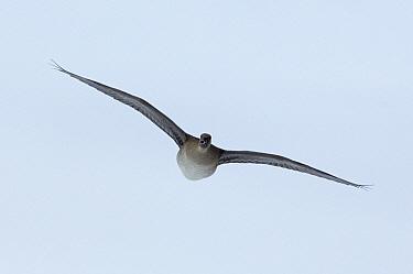 White-fronted Goose (Anser albifrons) flying, Kamchatka, Russia  -  Sergey Gorshkov
