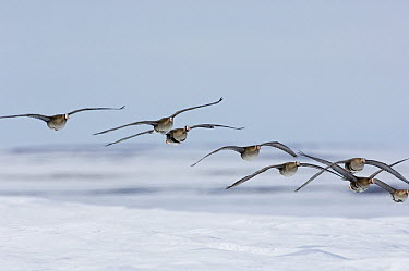White-fronted Goose (Anser albifrons) flock flying, Kamchatka, Russia  -  Sergey Gorshkov