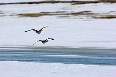 White-fronted Goose (Anser albifrons) pair flying, Kamchatka, Russia  -  Sergey Gorshkov