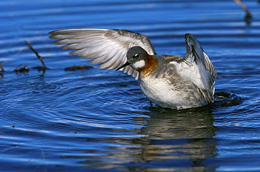 Red-necked Phalarope (Phalaropus lobatus) female spreading its wings, Kamchatka, Russia  -  Sergey Gorshkov