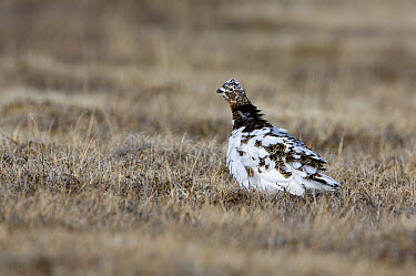 Rock Ptarmigan (Lagopus muta) female molting from winter to summer feathers, Kamchatka, Russia  -  Sergey Gorshkov