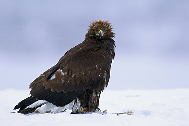 Golden Eagle (Aquila chrysaetos) scavenging on fish, Kamchatka, Russia  -  Sergey Gorshkov