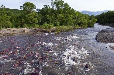 Sockeye Salmon (Oncorhynchus nerka) swimming up river to spawn, Kamchatka, Russia  -  Sergey Gorshkov