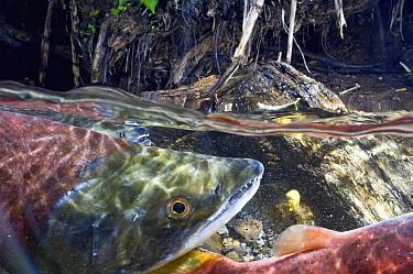 Sockeye Salmon (Oncorhynchus nerka) male with partially developed beack, Kamchatka, Russia  -  Sergey Gorshkov