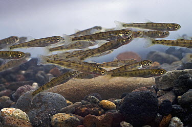 Sockeye Salmon (Oncorhynchus nerka) fry, Kamchatka, Russia  -  Sergey Gorshkov