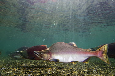 Pink Salmon (Oncorhynchus gorbuscha) male and Sockeye Salmon (Oncorhynchus nerka) males in breeding coloration and morphology, Kamchatka, Russia  -  Sergey Gorshkov