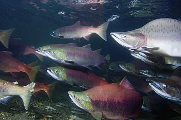 Sockeye Salmon (Oncorhynchus nerka) male and females as well as a Pink Salmon (Oncorhynchus gorbuscha) male in breeding coloration and morphology, Kamchatka, Russia  -  Sergey Gorshkov