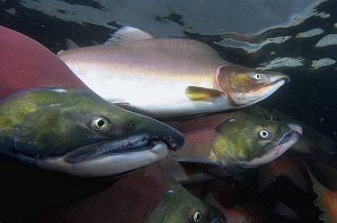 Sockeye Salmon (Oncorhynchus nerka) males and Pink Salmon (Oncorhynchus gorbuscha) male in breeding coloration and morphology, Kamchatka, Russia  -  Sergey Gorshkov