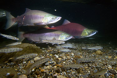 Sockeye Salmon (Oncorhynchus nerka) male and Pink Salmon (Oncorhynchus gorbuscha) males in breeding coloration and morphology, with other juvenile salmonids swimming close by, Kamchatka, Russia  -  Sergey Gorshkov