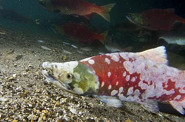 Sockeye Salmon (Oncorhynchus nerka) with parasites, Kamchatka, Russia  -  Sergey Gorshkov