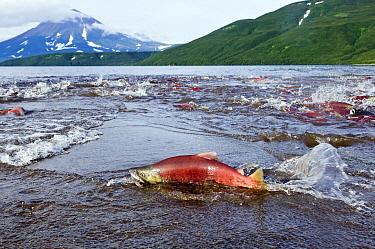 Sockeye Salmon (Oncorhynchus nerka) dying after spawning, Kamchatka, Russia  -  Sergey Gorshkov