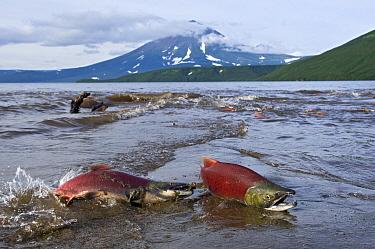 Sockeye Salmon (Oncorhynchus nerka) pair dying after spawning, Kamchatka, Russia  -  Sergey Gorshkov
