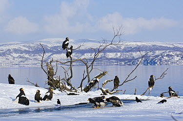 Steller's Sea Eagle (Haliaeetus pelagicus) group on lakeshore, Kamchatka, Russia  -  Sergey Gorshkov