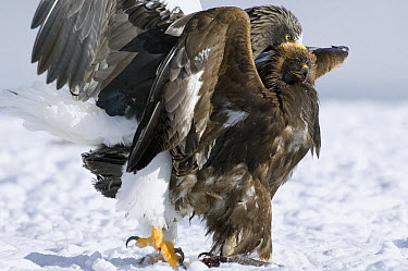 Steller's Sea Eagle (Haliaeetus pelagicus) attacking Golden Eagle (Aquila chrysaetos) to get its food, Kamchatka, Russia  -  Sergey Gorshkov