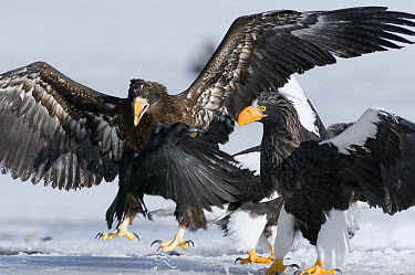 Steller's Sea Eagle (Haliaeetus pelagicus) juvenile trying to chase away adult and raven, Kamchatka, Russia  -  Sergey Gorshkov