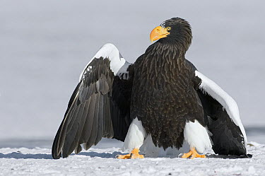 Steller's Sea Eagle (Haliaeetus pelagicus) posturing to make itself appear larger, Kamchatka, Russia  -  Sergey Gorshkov