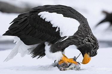 Steller's Sea Eagle (Haliaeetus pelagicus) feeding on fish, Kamchatka, Russia  -  Sergey Gorshkov