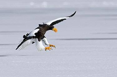 Steller's Sea Eagle (Haliaeetus pelagicus) landing, Kamchatka, Russia  -  Sergey Gorshkov