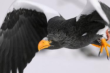 Steller's Sea Eagle (Haliaeetus pelagicus) flying, Kamchatka, Russia  -  Sergey Gorshkov