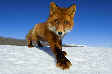 Red Fox (Vulpes vulpes) on snow, Kamchatka, Russia  -  Sergey Gorshkov